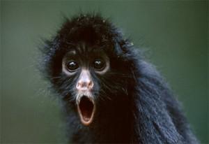 The Monkey Squawks